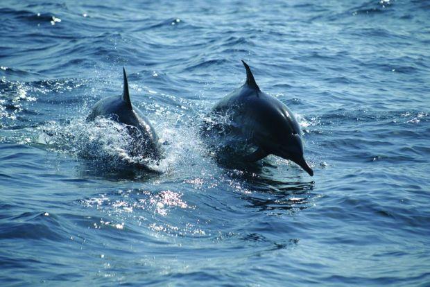 Dauphins © OT Oman.jp